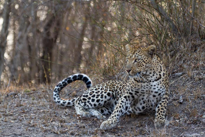 The Mashaba female is now like a ghost. Pushing her territory further West into the heart of the territory of her late Mother, the Vomba Female.