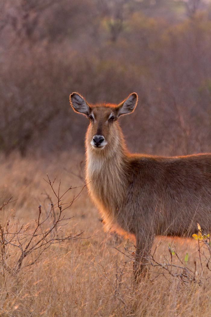 A Waterbuck cos in golden morning light.