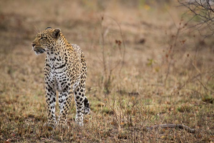 THe Tamboti female leads her cub to a fresh kill. Looking out for danger as she approaches the carcass.
