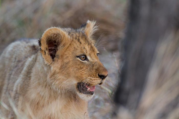 Soon these young Lions will be big and strong. The biggest Pride on Londolozi.
