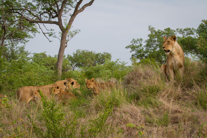 Even some of the older lionesses sought refuge on the termite mound!
