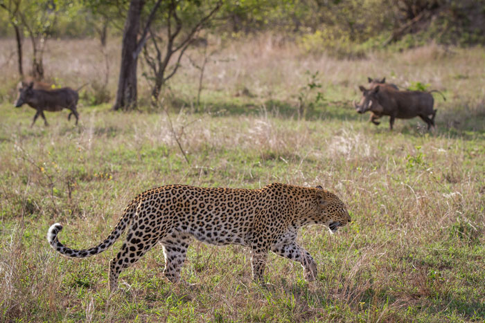 The Mashaba female again, during another warthog encounter similar to the one in last week's TWIP. Once the element of surprise is lost, leopards will often move out of the area, knowing they have almost no chance of a successful hunt.