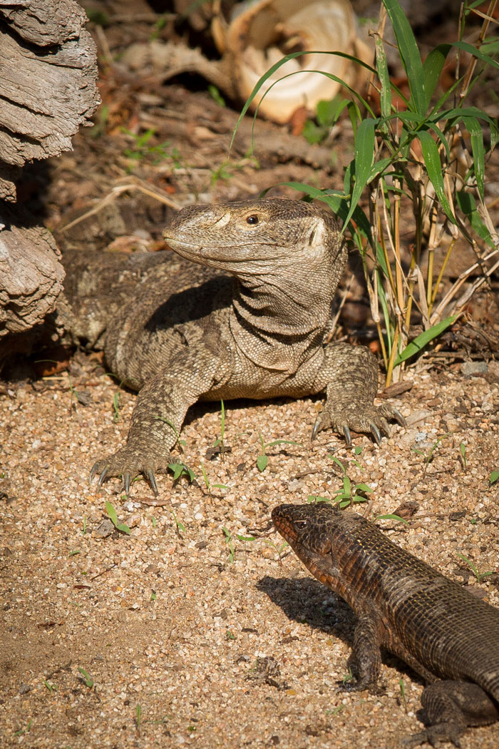 Two of our largest lizard species go toe-to-toe in the Tree Camp car park. A rock monitor and a giant plated lizard eye each other out before the monitor retreated into his log.