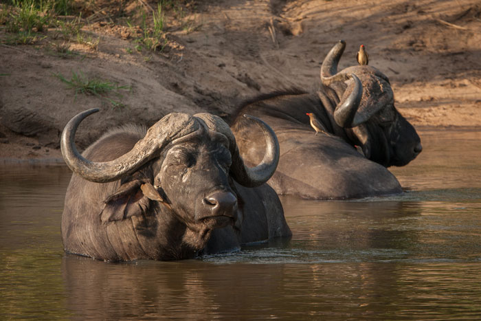 Two buffalo bulls doze in the Sand River at Finfoot crossing. Not wanting to disturb them, since they were there first, we were forced to drive a couple of kilometres further along to cross at a different point.