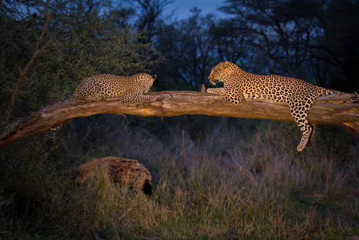 The Tamboti female and cub recline on a fallen Knobthorn while a prowling hyena skulks below.