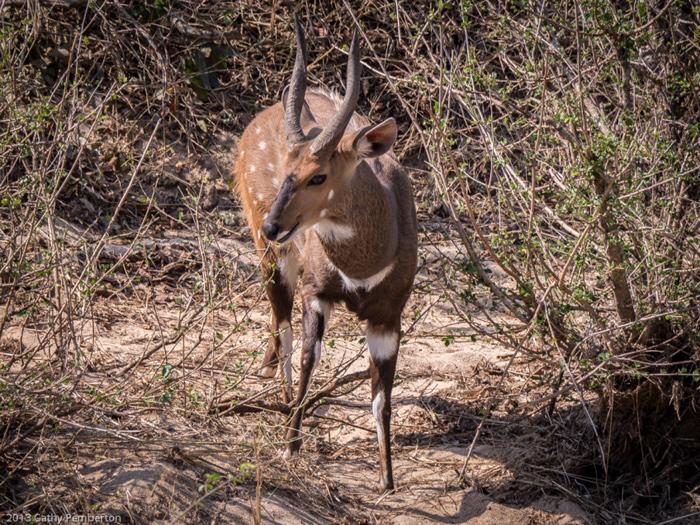 Bush-buck