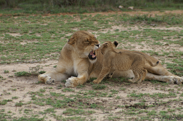 The tailless Tsalala lioness was being harassed by her sister's cub so she chased the poor little thing away.