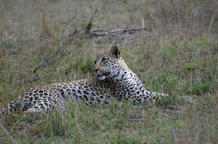 The Mashaba young female leopard glancing up at her mum who is in a near by tree with their kill.