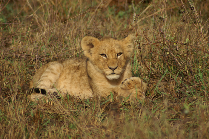 One of the cute 5 month old cubs from the Mhungheni Pride, one of nine cubs.