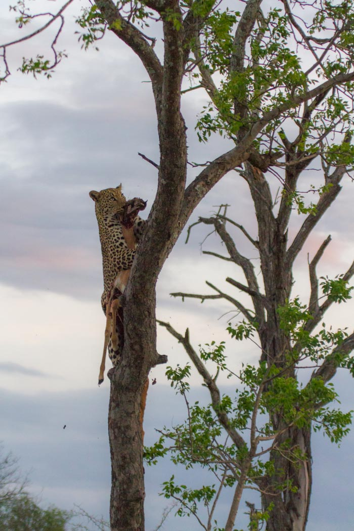 Young Male Leopard (7 of 7)