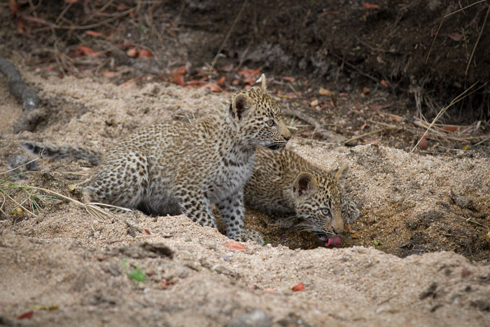 The cubs drink together from a pool in the Manyelethi Riverbed, an area they spent the majority of their time during their formative months. The one that has disappeared is the cub closest to the camera.