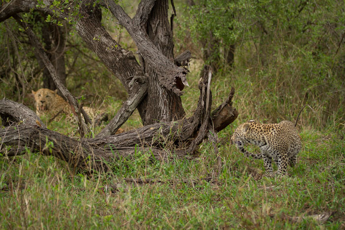 The cub of the Tamboti female is in the foreground while the Camp Pan male reclines near the kill in the background.