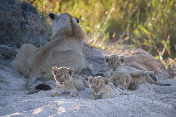 The Tailed Tsalala lioness and her 4 young cubs in the Sand River near Plaque Rock.