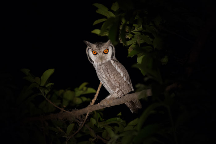A whitefaced scops owl. Heard more often than seen at Londolozi, this was the first time I had ever captured a photo of this beautiful bird of the night.