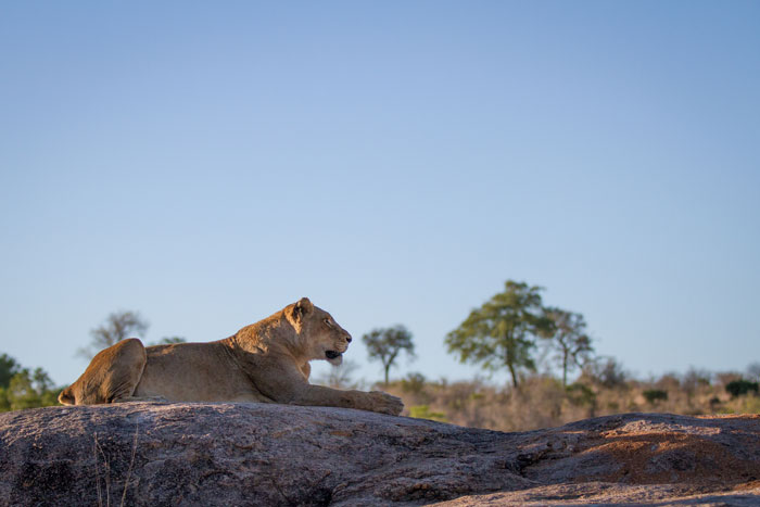 The Tailless Tsalala female on Plaque Rock itself, overlooking the spot where her sister and cubs were resting in the shade.