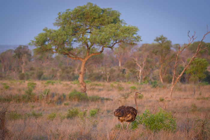 A VERY rare sighting at Londolozi, this female ostrich has been hanging around for the last week or so. The largest bird in the world, these flightless giants generally prefer far more open habitat, as among the thickets of the Sabi Sand reserve they fall easy prey to the large predators.
