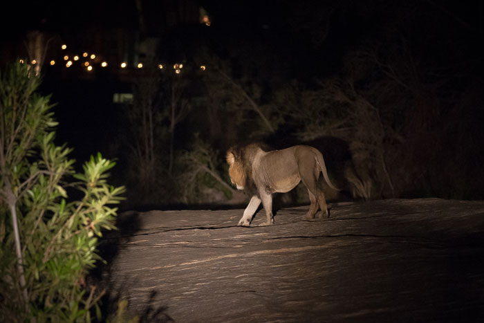 The Dark-maned Majingilane moves across the Granite rocks of the Sand River in front of Founders Camp one evening.