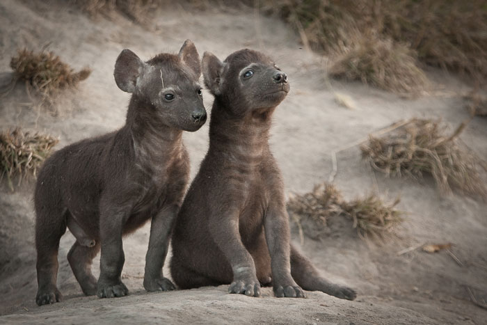 Two very cute hyena cubs, one of whom gives us the evil eye! Pretty much pure black when born (or at least very dark brown), these little guys will only get their spots in a couple of months
