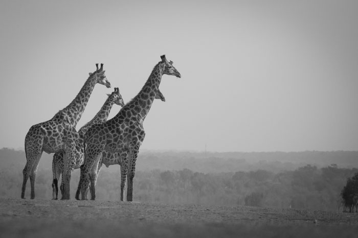 A journey of giraffe look out over the reserve from the Londolozi airstrip.