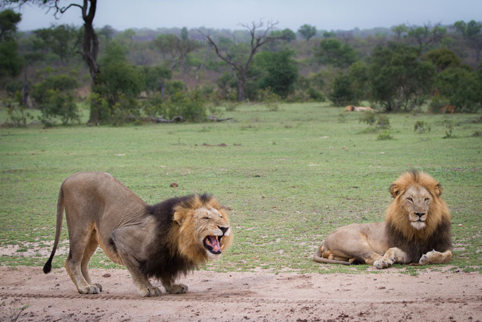 The Dark Majingilane also displays the flehmen grimace. The Tsalala females, although appearing relatively unconcerned by the presence of the males, nevertheless kept leading the little cubs further away throughout this sighting, with the males tagging along behind. The other two Majingilane can be seen in the distance to the right of the picture.