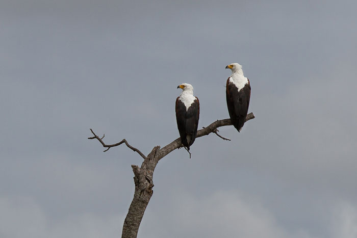 A pair of fish eagles survey their Sand River domain from high above. Monogamous birds, this pair has made a large Jackalberry tree on the northern bank their home for a number of years now.