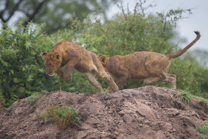 Look in any army manual and it well tell you that holding the high ground is crucial! The Mhangeni cubs take this strategy to heart.