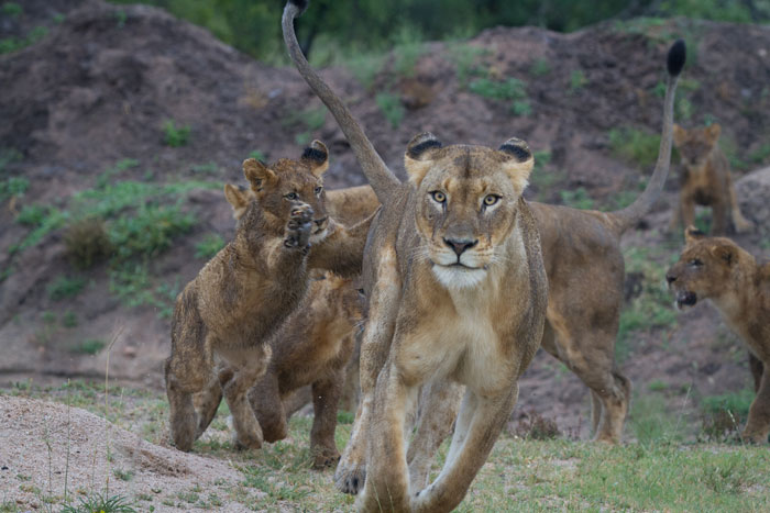 A lioness leads the charge as others fall into line behind her.
