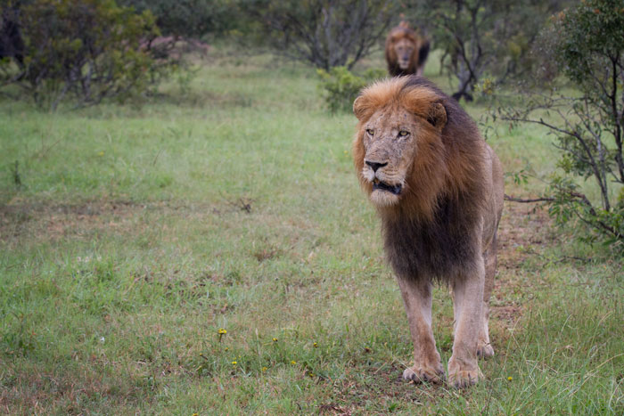 The Male with the missing canine was the first to follow the females as they moved off in the opposite direction from the buffalo herd. The other three males can be seen approaching in the background.