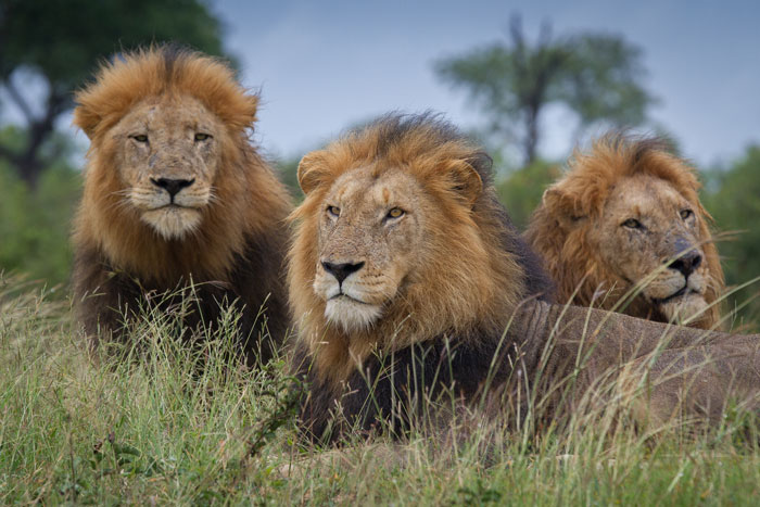 Regal. The only word for male lions with this kind of look in their eyes.