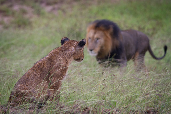 One of the little ones watches the approach of the Dark-maned male.