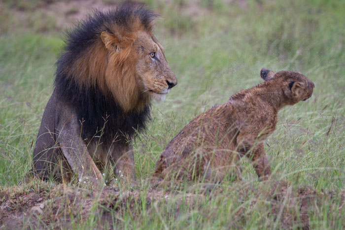 As the rain began petering out, the lion's mood lifted, and a lot of shaking off of excess water took place, as this cub demonstrates.