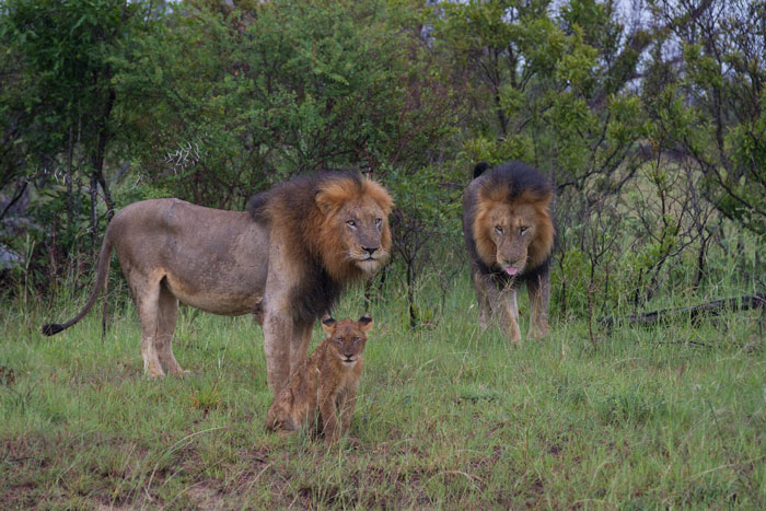 Two of the males and a cub regroup after their rather poor showing on the hunt. Had all the males got involved, the outcome may well have been different...