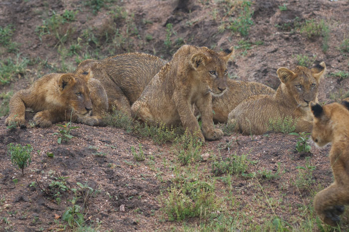 The cubs were the first to initiate play-time, as is so often the case. Here three of them prepare to pounce on one of their approaching pride-mates.