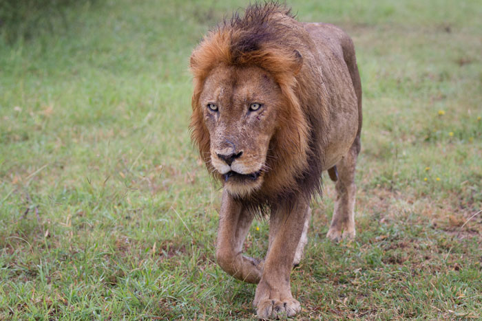 The crazy eyes of the slightly damp-looking Hip-scar male as he trails the other 16 lions moving ahead  of him.