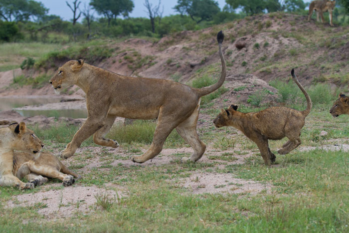Young lionesses are far more indulgent of the cubs in their games of pounce, stalk and chase.