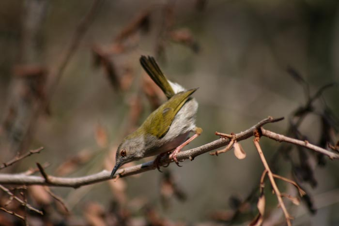 A Green Backed Cameroptera (formerly Bleating Warbler).