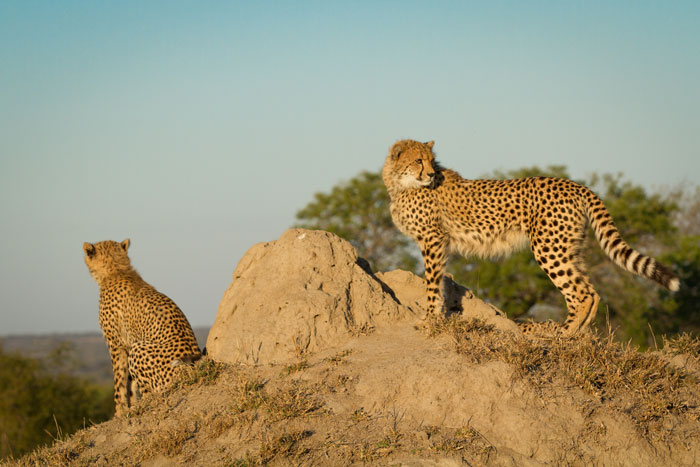 Termite mounds are a favourite vantage point for cheetahs, both young and old.