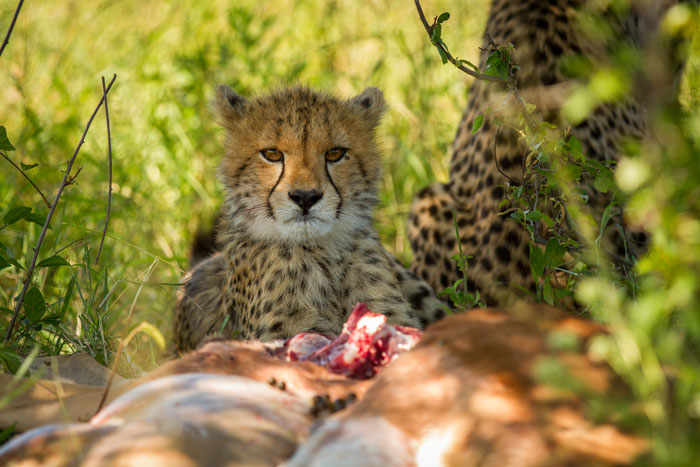 One of the cubs enjoys the spoils of it's mother's first successfully witnessed hunt on Londolozi.