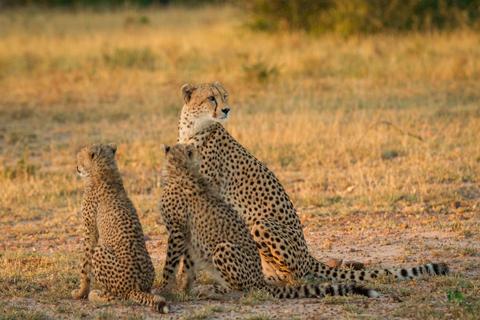 The first time I saw the cheetahs. A crisp Autumn morning. It has been wonderful to see how much the young cheetahs have grown since April, when they were first found.