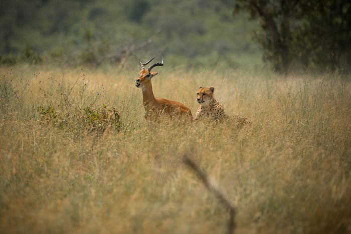 General Manager Chris Kane-Berman captured this brilliant image of the female cheetah bringing down an adult impala ram. This was the first hunt of hers witnessed on Londolozi soil.