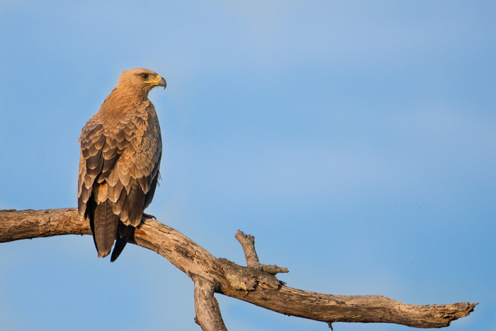 This Tawny Eagle is one of the resident pair in the north of Londolozi. They will feed on anything from termites up to the size of a small antelope, but are also sometimes the first to arrive and start scavenging at kills.