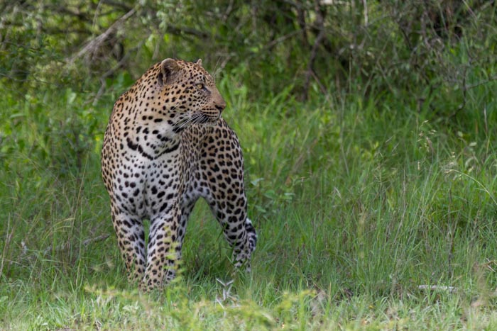 The Gowrie male kept us entertained as he moved through some very thick bush.