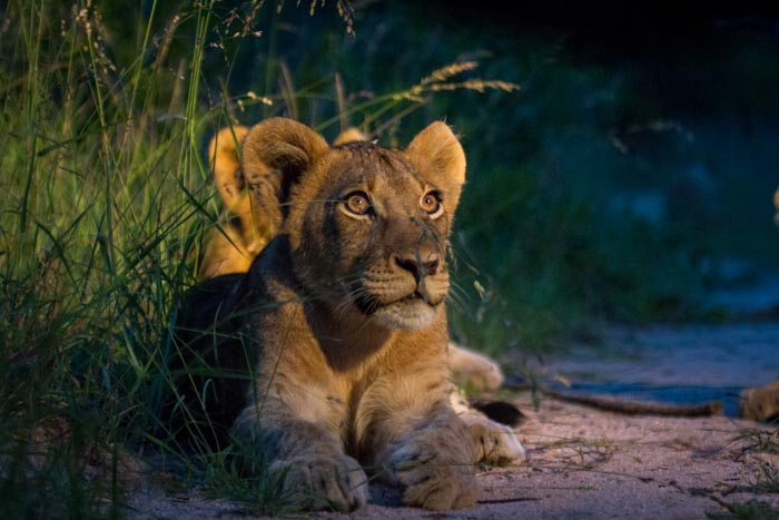 Some great evening light on a Mhungeni cub.