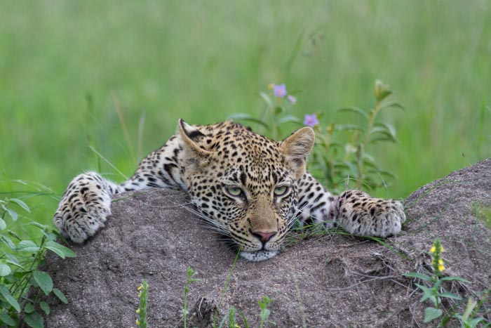 The Tamboti young female rests on a tremite mound after feeding on 2 Impala lambs.