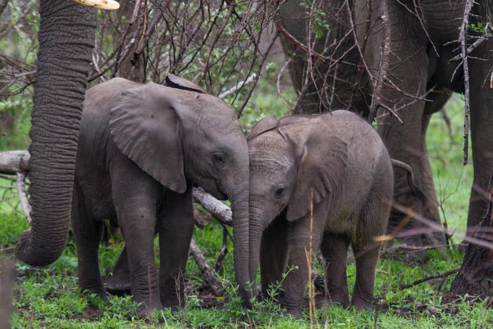Two young Elephants greet each other.