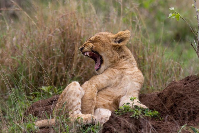 A Mhungeni Pride cub waking up from a cold morning.