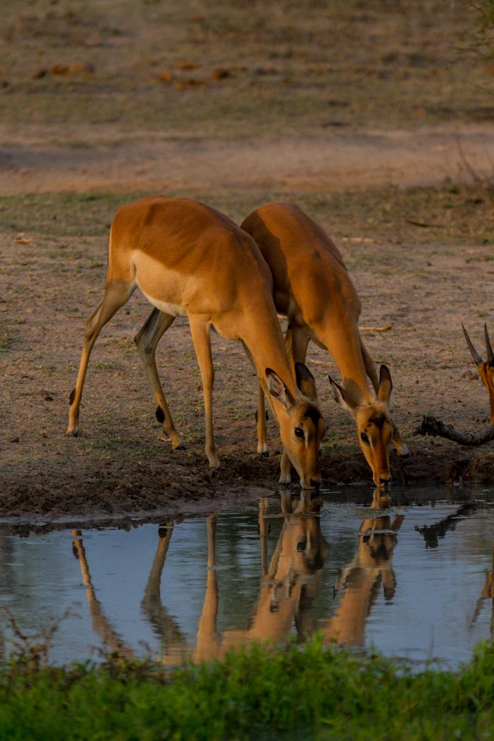 Some Impala ewes come down for a drink in the late afternoon.