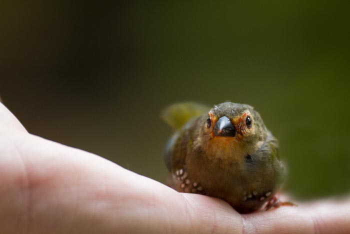 This Green Twinspot flew into Richard Ferriers window and thankfully flew off shortly after this picture was taken!