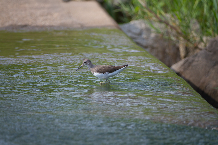 The first is this Green Sandpiper photographed here at the Causeway by Malcolm Hide.