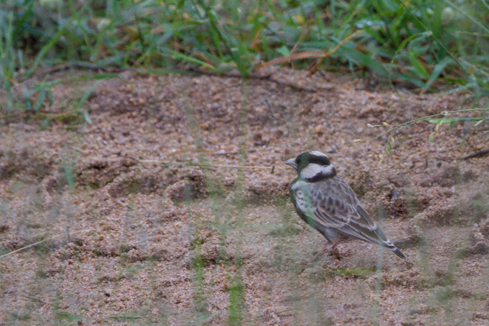 The second bird pictured here is a Grey Backed Sparrow-Lark.